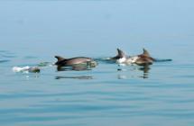 """Adriatico azzurro e trasparente """"grazie"""" al Lockdown: Pasqua affollata di delfini e tonni nel mare della Romagna"""